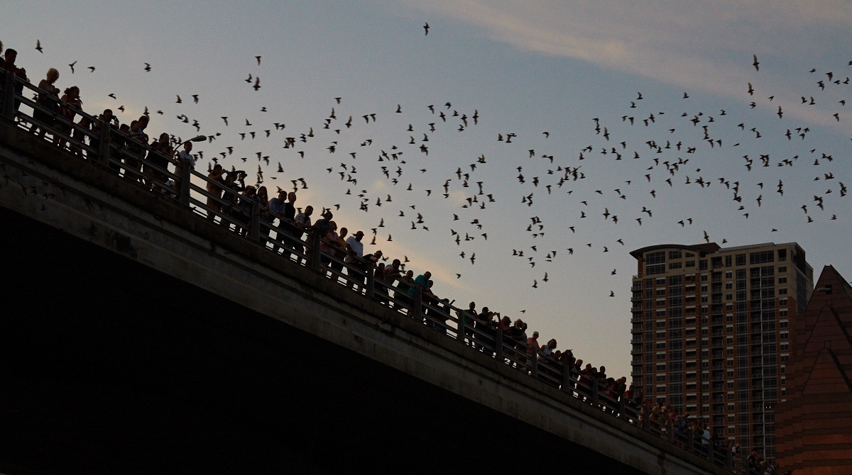 Bats fly from under the Congress Avenue Bridge in Austin this evening as hundreds watch the show.