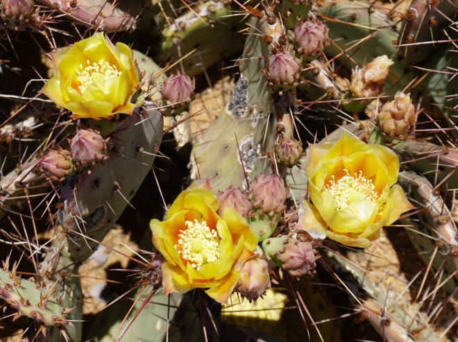 Cactus blooms outside of Lordsburg, NM