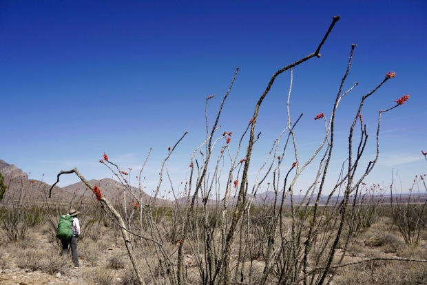 Deb hiking past an Ocotillo on the CDT.