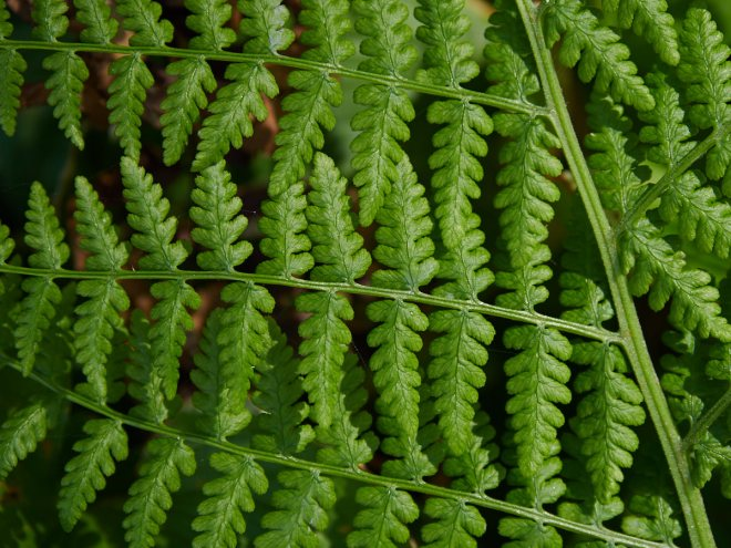 Ferns at Big Lagoon California