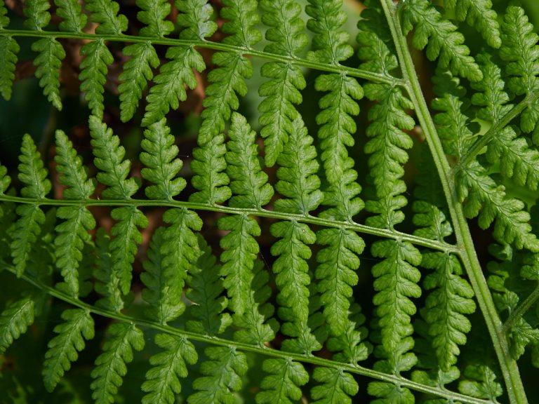 Ferns at Big Lagoon California